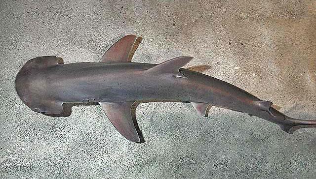 Um tubarão de Bonnethead (Imagem: D. Ross Robertson / Wikimedia)