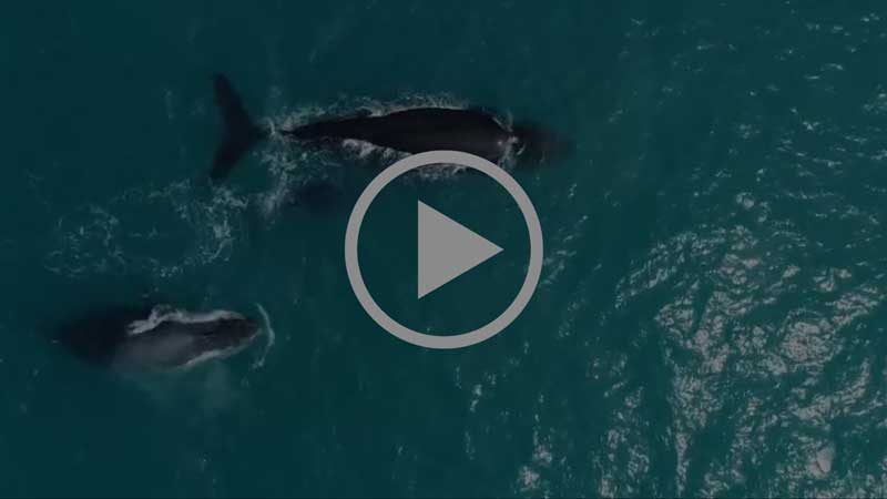 player-video-boa-noticia-populacao-de-baleias-jubarte-chega-a-25-mil