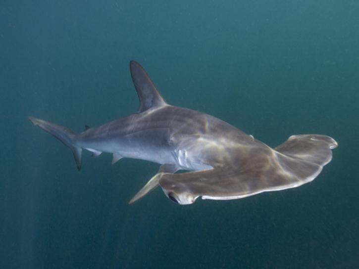 Tubarão Martelo de cabeça lisa