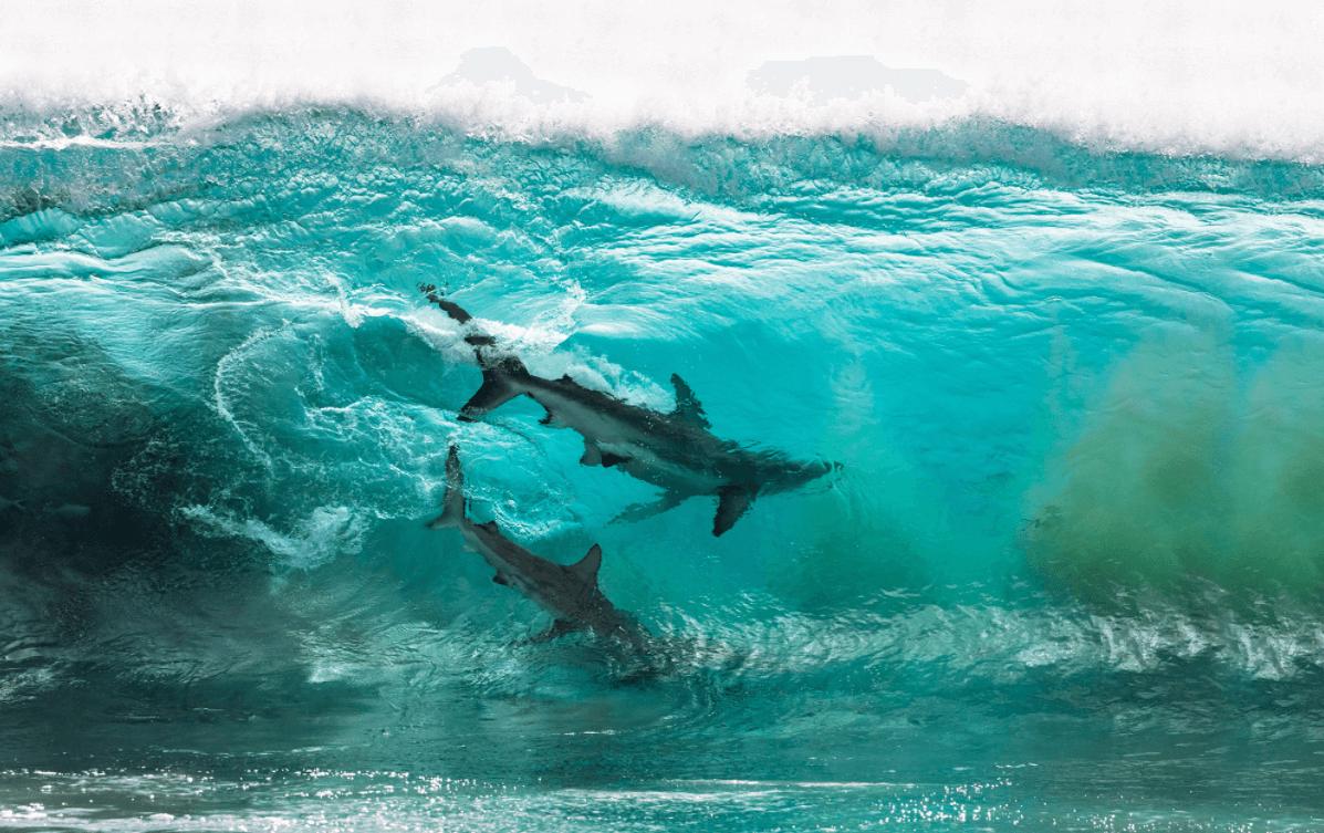 Tubarões dançarinos na categoria preservação do Ocean Photography Awards