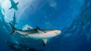 A pesca do tubarão poderia ser legal novamente nas Maldivas? - Copyright Getty via Canva Por Maeve Campbell