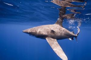 Tubarão de pontas brancas oceânicas em perigo crítico (Carcharhinus longimanus). Foto Andy Mann e Trevor Bacon