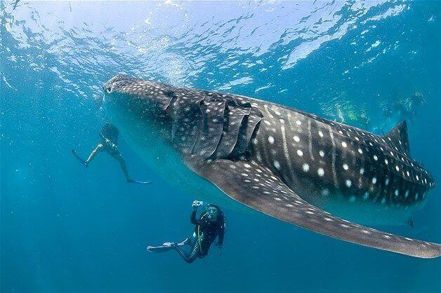 Mergulho com tubarão baleia nas Maldivas
