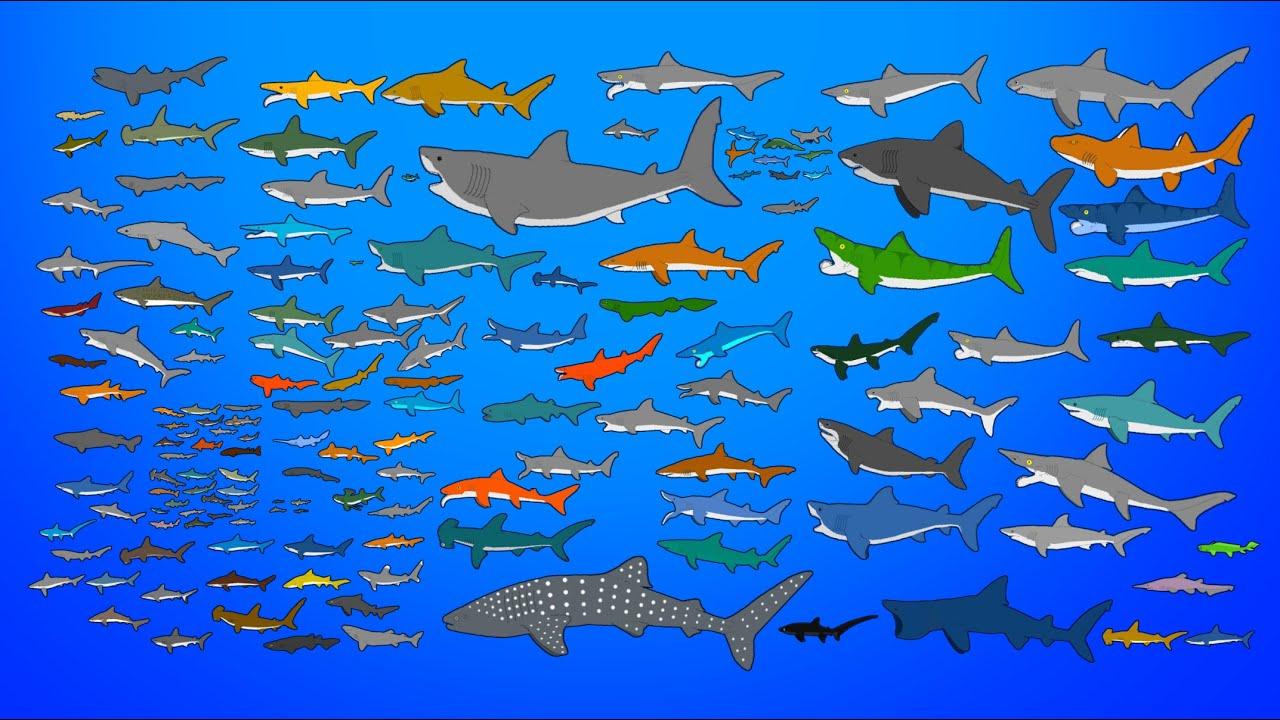 Sharks Size